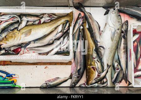 Cattura di 2 ore di viaggio di pesca include diverse scatole di merluzzi carbonari e cod. Isole Lofoten in Norvegia. Immagini Stock