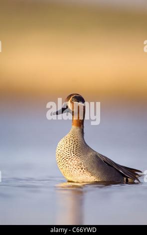 Alzavola Anas crecca profilo di un maschio adulto in allerta e si prepara a prendere il volo. Norfolk, Regno Unito. Immagini Stock