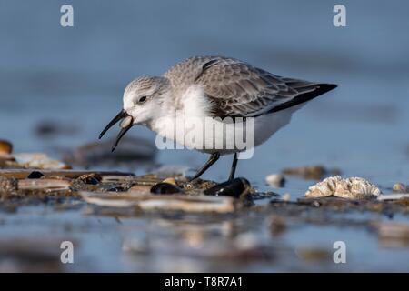 Francia, Somme, Baie de Somme Picardia Costa, Quend-Plage, Sanderling (Calidris alba) sulla spiaggia, ad alta marea, piro-piro vengono a nutrirsi in mare guinzaglio Immagini Stock