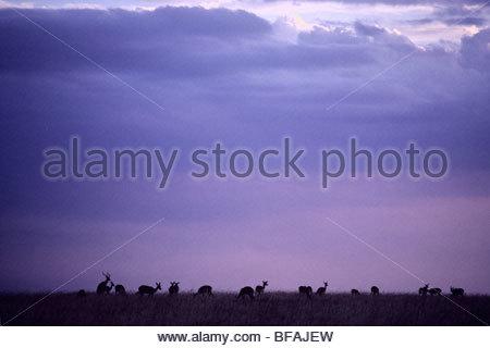 Impala mandria, Aepyceros melampus, riserva Masai Mara, Kenya Immagini Stock