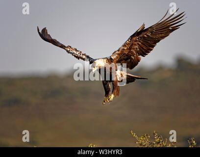 Spanish imperial eagle (Aquila adalberti) approccio di atterraggio, Estremadura, Spagna Immagini Stock