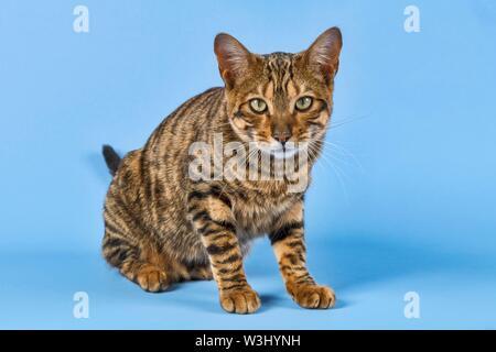 Toyger Breedcat (Felis silvestris catus), femmina, 8 mesi, colore brown tabby sgombro, marrone sgombro, su sfondo blu, frontale, Austria Immagini Stock