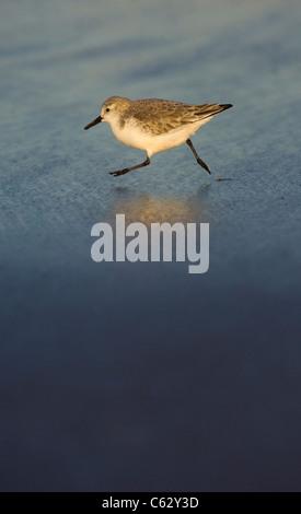 SANDERLING Calidris alba un adulto che corre lungo la linea di marea in golden luce della sera Lincolnshire, Regno Immagini Stock