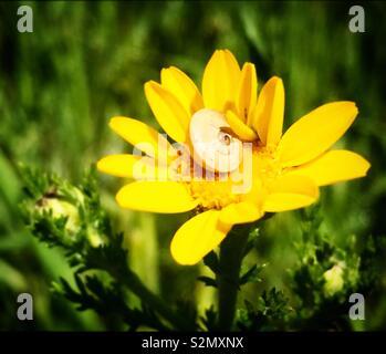 Una lumaca perchs su un giallo daisy nella Sierra de Grazalema Parco naturale in Andalusia, Spagna Immagini Stock