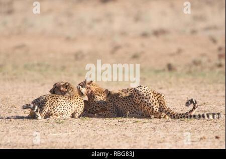 Immagini incredibili in vetrina al momento in cui un fotografo esperto catturato un drammatico ghepardo uccidere mentre su safari in Sud Africa. L'action-packed le fotografie sono state prese solo come i ghepardi discende dalle dune di sabbia del Kalahari Parco transfrontaliero. La up-chiudere le immagini mostrano i ghepardi hungrily inseguendo il loro pregare, Springbok fulvo, come freccette per evitare la cattura. Bridgena Barnard / www.mediadrumworld.com Immagini Stock