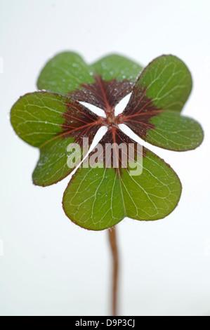 Quattro Leaf Clover Immagini Stock