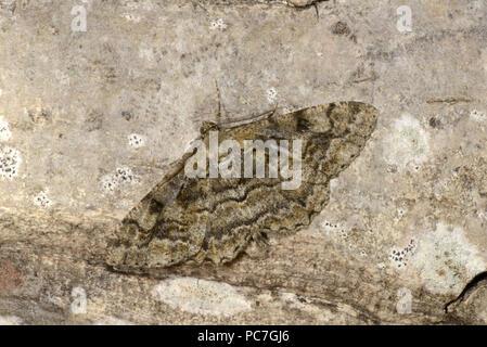 Bellezza a chiazze Tarma (Alcis repandata) adulto a riposo sul tronco di albero, Monmouth, Galles, Giugno Immagini Stock