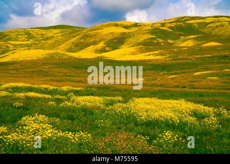 Fioriture di fiori selvaggi nella gamma Temblor, Carrizo Plain monumento nazionale, California, Immagini Stock