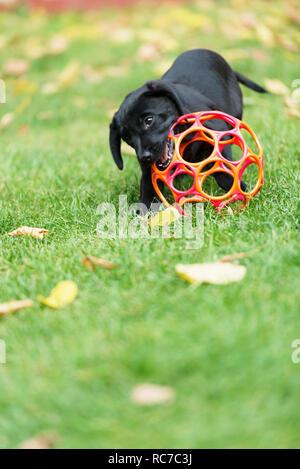 Cane giocando con il giocattolo Immagini Stock