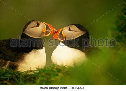 I puffini con più luminoso e più grande di rostri durante la stagione di accoppiamento, Fratercula arctica, Immagini Stock