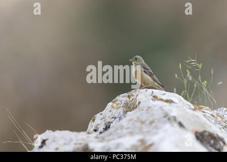 Ortolano (Emberiza hortulana) maschio adulto, appollaiato sulla roccia, Constanta, Romania, Giugno Immagini Stock