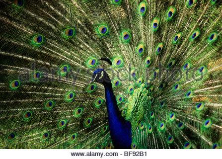 Peacock (Indiano peafowl) maschio visualizzazione, Pavo cristatus. Immagini Stock
