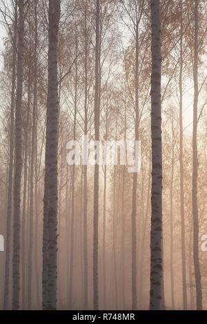 Woodland tronchi di alberi e cime nella nebbia, Lohja, Finlandia meridionale, Finlandia Immagini Stock
