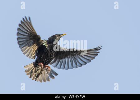 Flying European Starling (Sturnus vulgaris) con alette estese, Hesse, Germania Immagini Stock