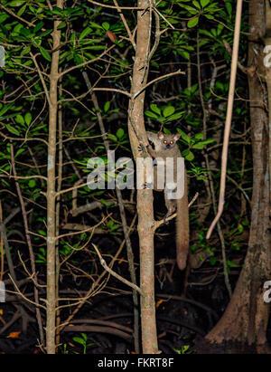 Galago (bush baby) è un piccolo primate notturno. Foresta di Jozani Riserva, Zanzibar, Tanzania. Immagini Stock
