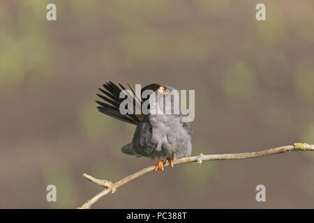 Red-Footed Falcon (Falco vespertinus) maschio adulto, appollaiato su ramoscello, preening, Hortobagy N.P., Ungheria, può Immagini Stock