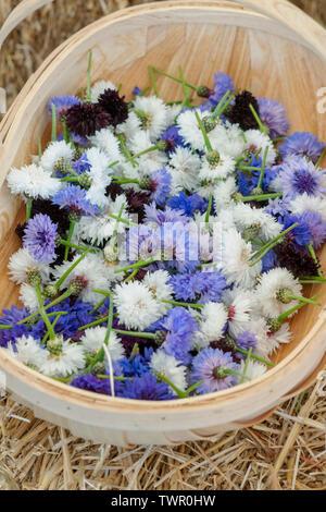 Giardino trugs piena di raccolti cornflowers a Daylesford fattoria organica summer festival. Daylesford, Cotswolds, Gloucestershire, Inghilterra Immagini Stock