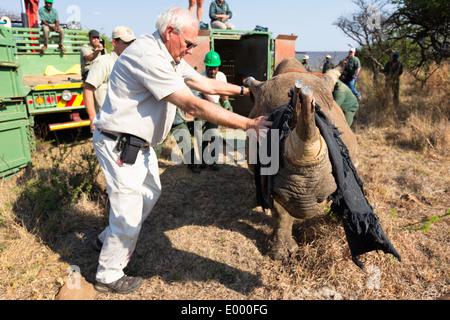 Rinoceronte nero (Diceros simum) essendo rilasciato in un area protetta.Ithala game reserve.Sud Africa Immagini Stock