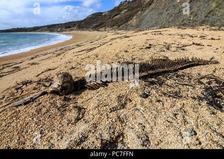 Scheletro di balena in gran parte decomposta sulla spiaggia, Ringstead bay, Dorset, Inghilterra, Marzo Immagini Stock