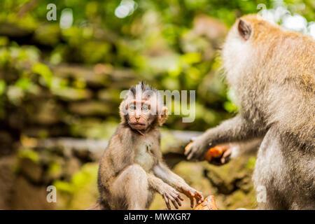 La sacra foresta delle scimmie in Ubud, Bali, Indonesia, Asia sud-orientale, Asia Immagini Stock