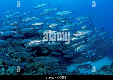 Grande scuola di tarpon, Isole Cayman Immagini Stock