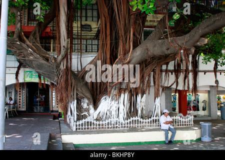 Spettacolare Banyan Tree fa un ombroso luogo di riposo vicino la cattedrale di Acapulco in Messico Immagini Stock