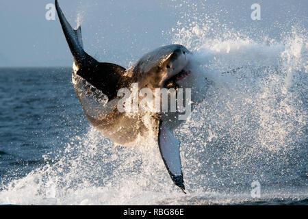 La violazione. Drammatiche immagini catturare un enorme 14 piedi-lungo il grande squalo bianco lanciarsi in aria dopo aver violato le acque in cerca di un gustoso pasto. L'azione mostra gli scatti 2.000 lb shark lancio stesso nell'aria come l'acqua viene spruzzata ovunque. Altre splendide immagini e video approfondire di subacquea e mostrare un altro grande squalo bianco nuoto attraverso l'oceano ed esplorando il sommozzatore in una gabbia. L'incredibile violazione è stato catturato in False Bay, Sud Africa dal fotografo David Nazareno Barragan (33), da Barcellona, Spagna che ha anche girato i grandi bianchi in subacquea Isla Guadalupe, Mex Immagini Stock