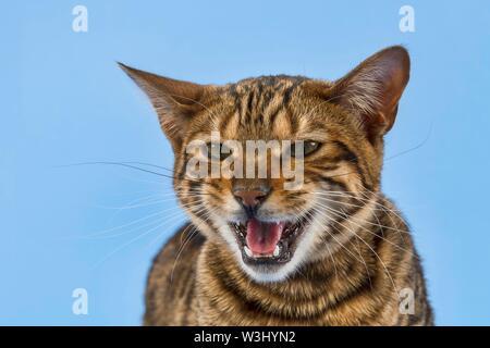 Toyger Breedcat (Felis silvestris catus), femmina, 8 mesi, colore brown tabby sgombro, marrone sgombro, su sfondo blu, animale ritratto, Austria Immagini Stock