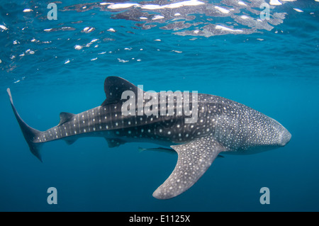 Squalo Balena, Cenderawasih Bay, Nuova Guinea, Indonesia (Rhincodon typus) Immagini Stock