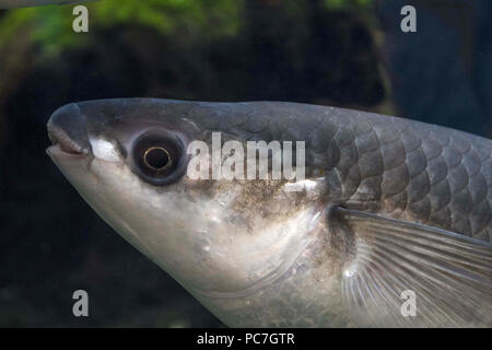 A labbra spesse cefalo (Chelon labrosus) , adulto, portriat della testa ,Acquario di Bristol, Inghilterra Luglio Immagini Stock