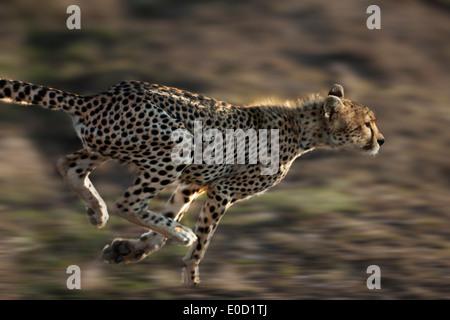 Esecuzione di ghepardo, Serengeti, Tanzania (Acinonyx jubatus) Immagini Stock