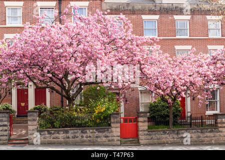 Urban Ciliegi linea a city centre street, UK. Immagini Stock