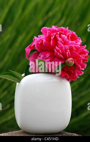 Doppio albero rosso Peonia in un elegante vaso bianco Immagini Stock