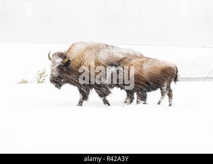 Stati Uniti d'America, Wyoming Yellowstone National Park. Bison in inverno. Immagini Stock