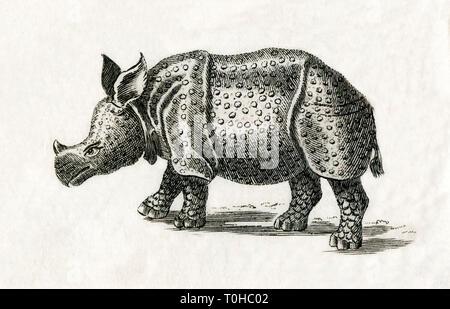 Vecchia foto vintage di rinoceronte indiano Immagini Stock