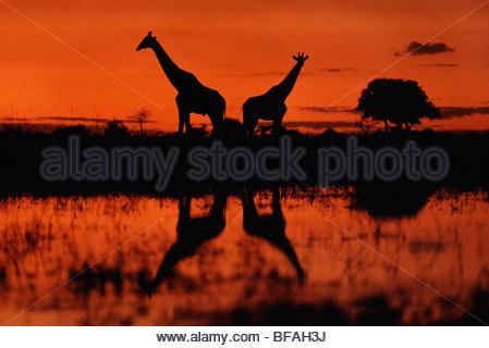 Le giraffe al tramonto, Giraffa camelopardalis, Okavango Delta, Botswana Immagini Stock