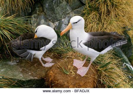 Nero-browed albatri corteggiamento, Thalassarche melanophrys, Isola Georgia del Sud Immagini Stock