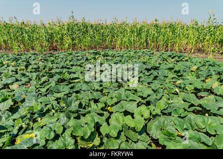 La piantagione di mais vicino a Pibor, Sud Sudan. Immagini Stock
