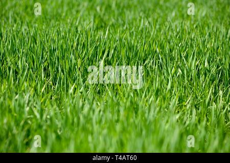 Lussureggiante verde erba in un ambiente rurale. Immagini Stock