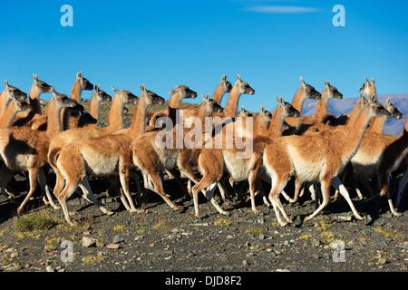 Piccolo allevamento di guanaco(Lama guanicoe) nel Parco Nazionale Torres del Paine.Patagonia.Cile Immagini Stock