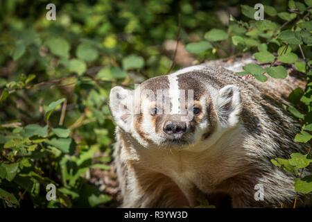 American Badger, Montana Immagini Stock