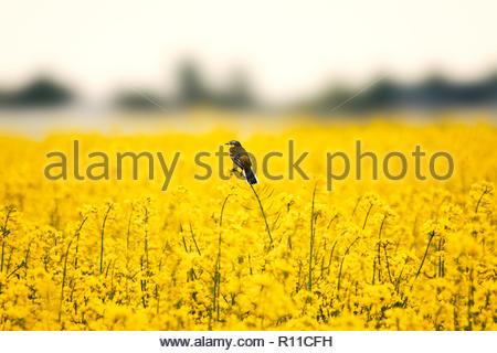 Bellissimo colpo di un uccello si appollaia su fiori gialli in un campo Immagini Stock
