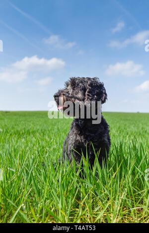 Maschio nero Cockapoo cane in un campo verde. Immagini Stock
