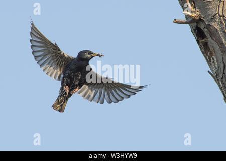 Unione Starling (Sturnus vulgaris) con il cibo nel becco avvicinandosi alla grotta di nidificazione nella struttura ad albero, Hesse, Germania Immagini Stock
