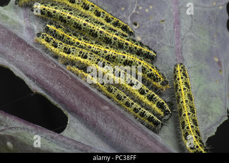 Il cavolo bianco, butterfly Sarcococca brassicae, bruchi, instar finale, alimentando su foglie di una varietà di colore viola di i cavoletti di Bruxelles Immagini Stock