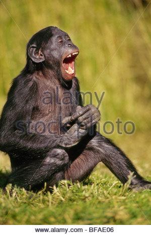 Bonobo capretti ridendo, Pan paniscus, nativo di Repubblica Democratica del Congo Immagini Stock