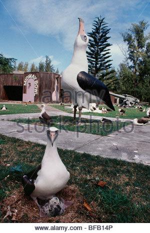 Laysan albatross con pulcino, Phoebastria immutabilis, Isola Midway, Hawaiian Isole Sottovento Immagini Stock
