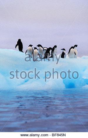 Adelie pinguini su iceberg, Pygoscelis adeliae, Antartide Immagini Stock