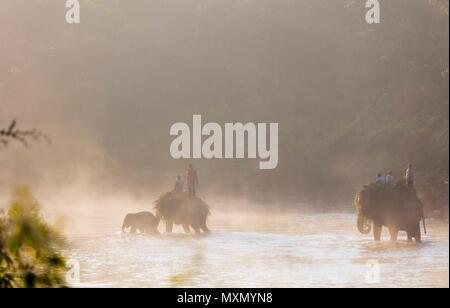 Lavorando elephant (Elephas maximus indicus) che attraversa un fiume all'alba, Chitwan il parco nazionale, sito Patrimonio Mondiale dell'UNESCO, Nepal, Asia Immagini Stock
