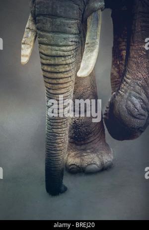 tronco di elefanti Immagini Stock